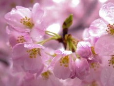 お花見の時に雨の場合は?代替案のオススメと雨の時の必需品